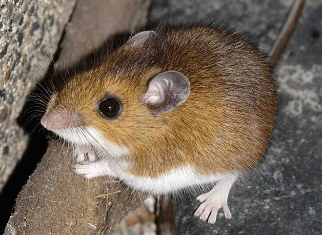 Blocking entry points, keeping spaces clean can help deter mammal pests