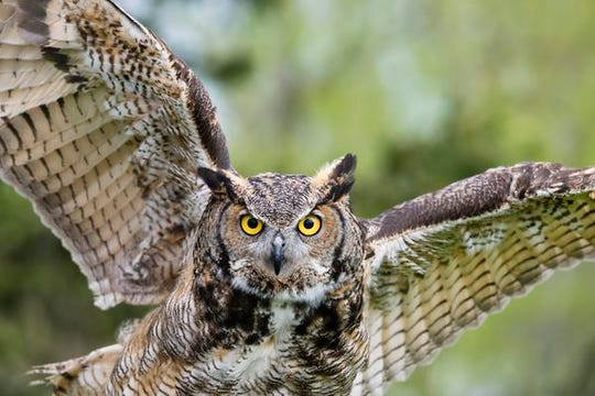 On Jan. 22, participants in the Family Owl Prowl will go in search of owls.