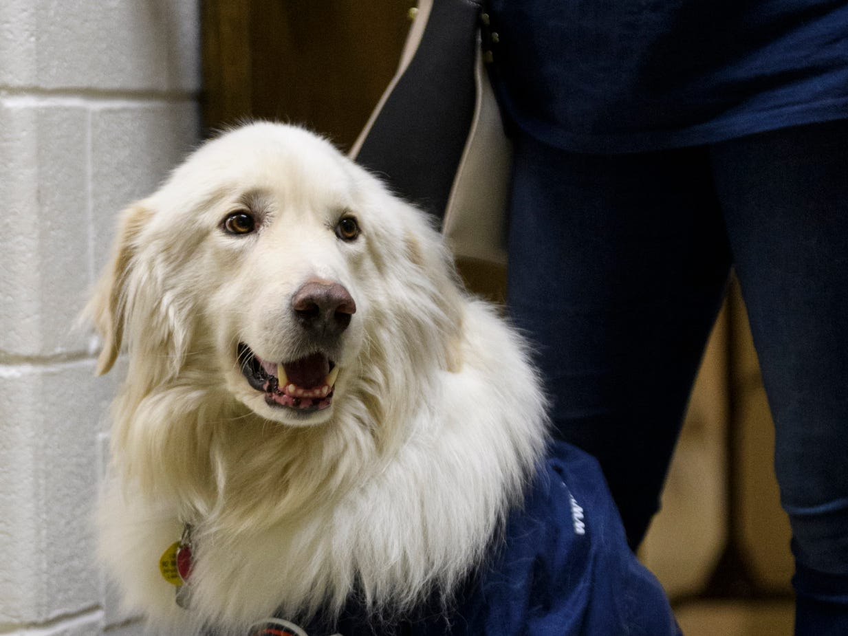 Falco, Ashley Newell's service dog, sports a Bucshon for Congress t-shirt over his service vest during the republican watch party at the C K Newsome Community Center in Evansville, Ind., Tuesday, Nov. 6, 2018.