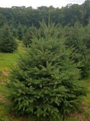 Meyer Spruce.