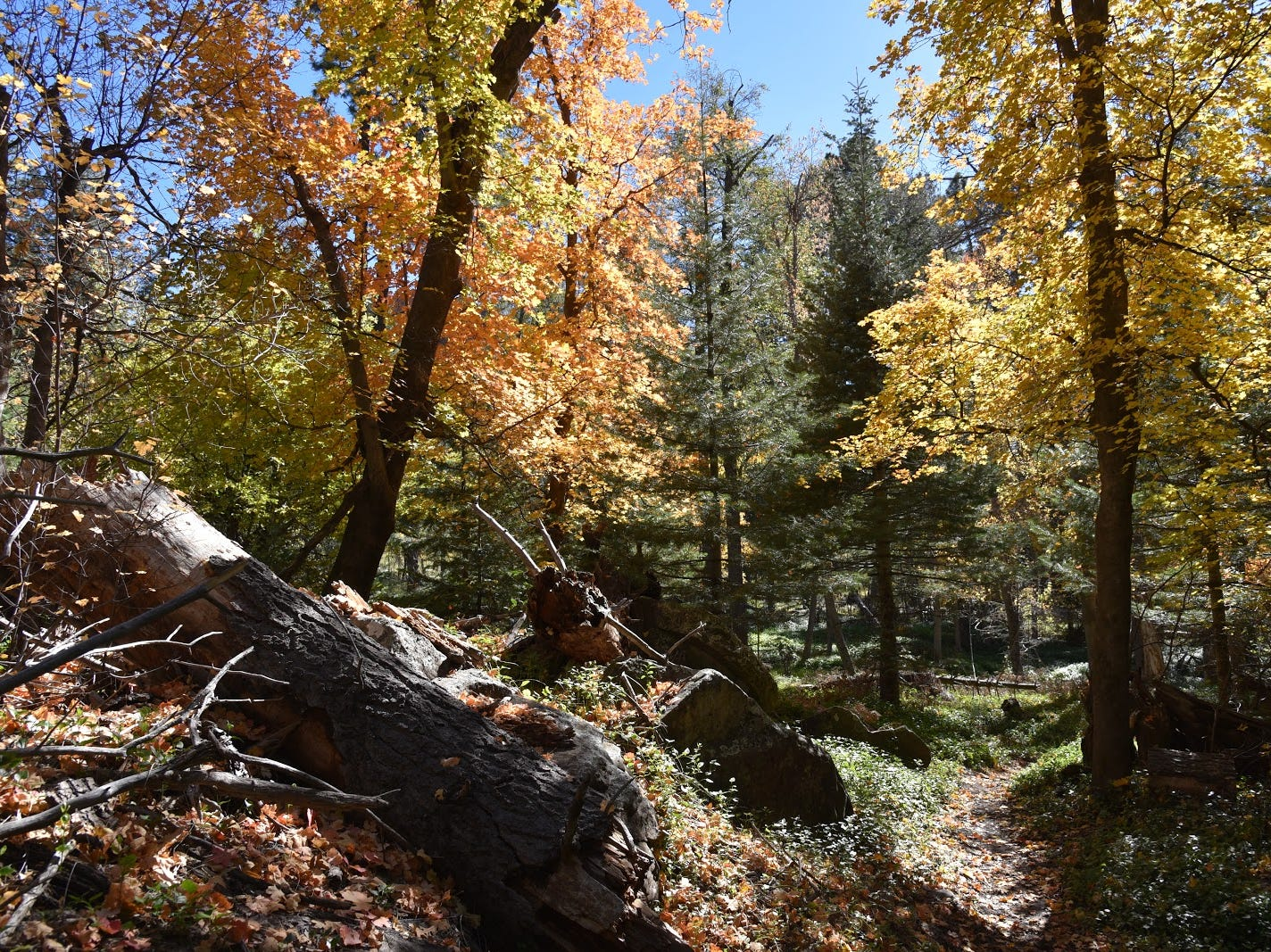 Deep woods define the first mile of the Col. Devin Trail near Payson.