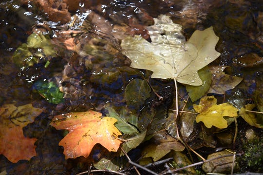 Bigtooth maple leaves float in the East Verde River.