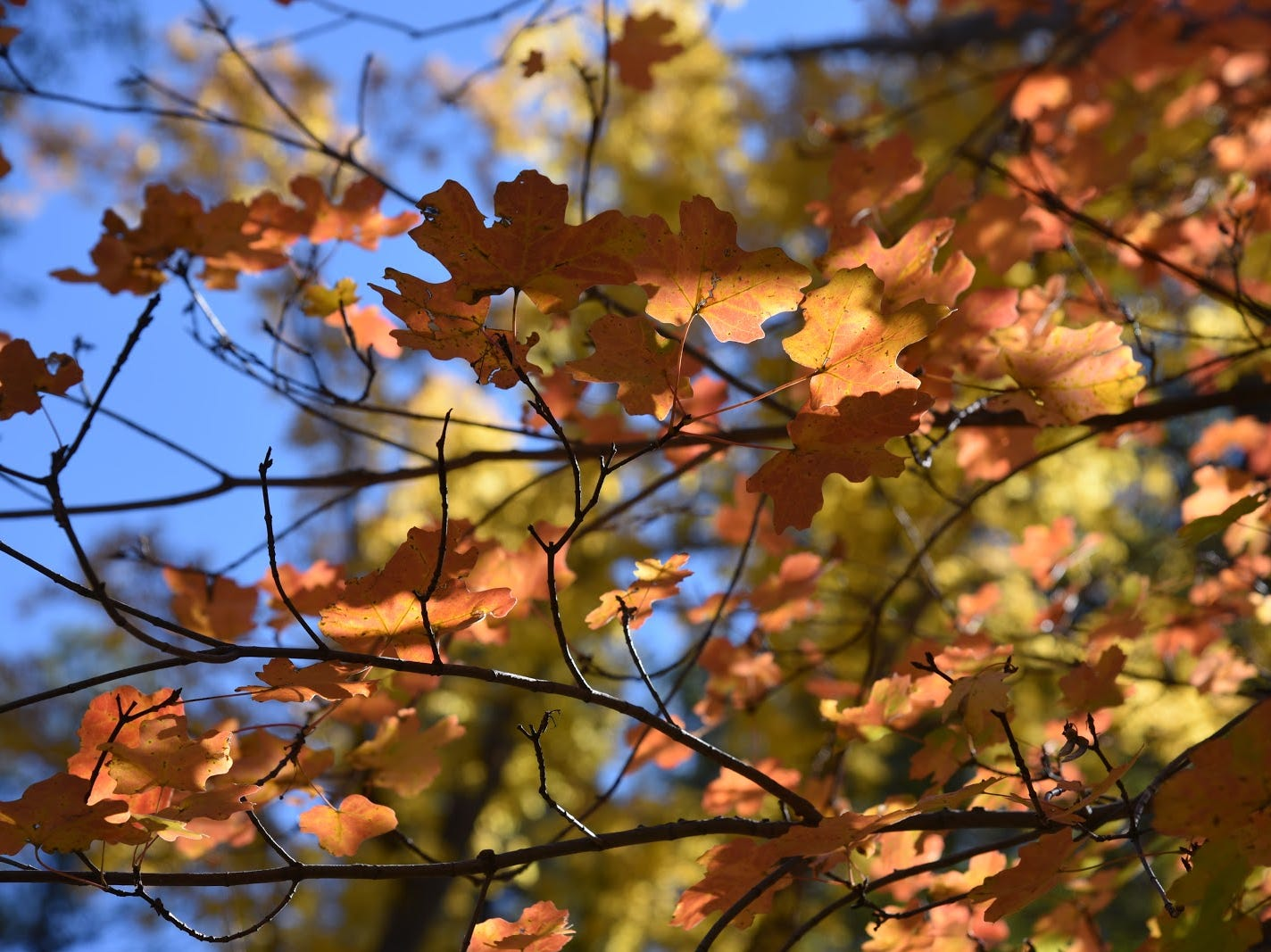 Bigtooth maple leaves glow in the sun.
