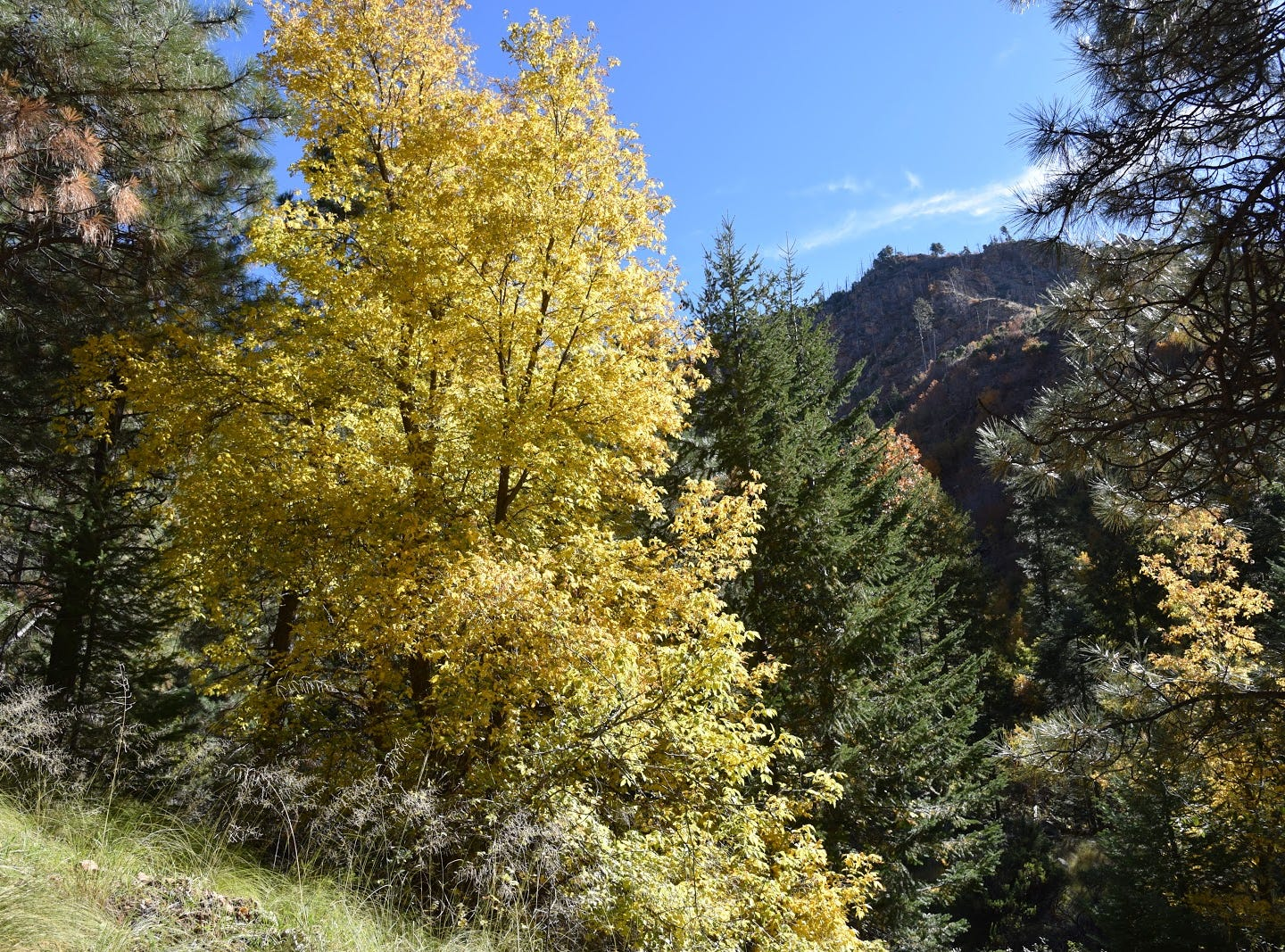 Boxelder trees turn lemony yellow in autumn.