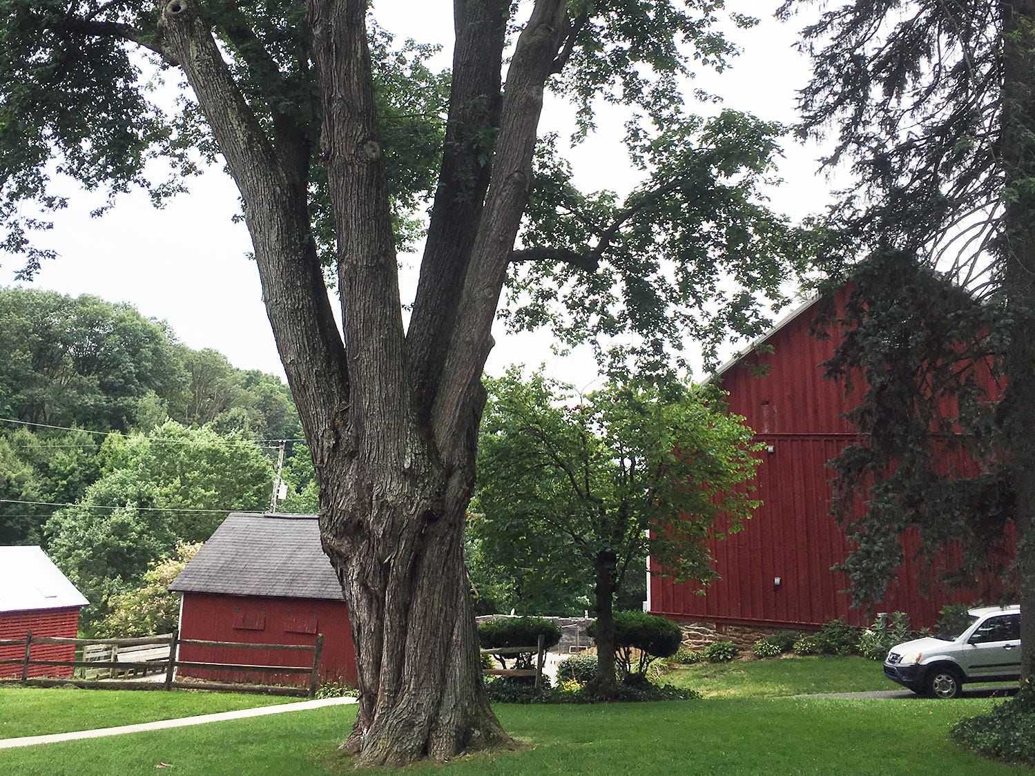 This is the 50-foot Silver Maple tree before it became a fairy house at the Teaching Museum for the Fiber Arts & Textiles near Winterstown.
