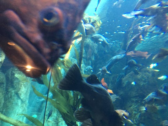 Rockfish swim in the Passages of the Deep at the Oregon Coast Aquarium.