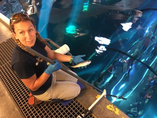 Oregon Coast Aquarium Trista Baxter feeds herring to sharks.