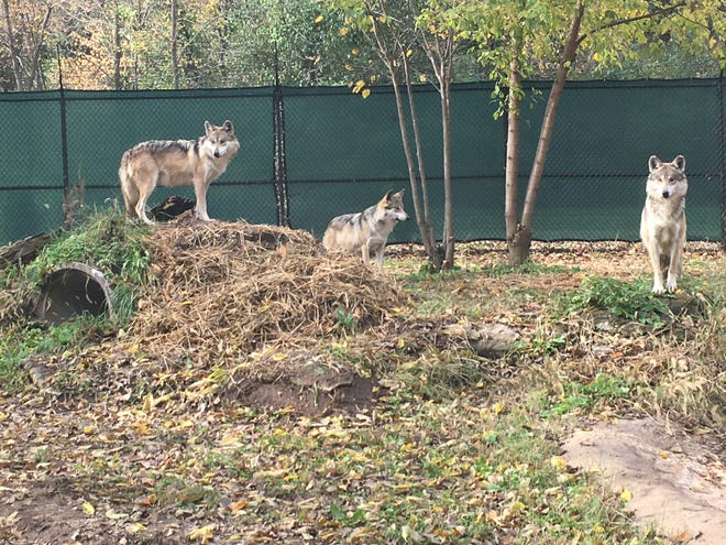 A pack of endangered Mexican wolves now calls Dickerson Park Zoo its home.