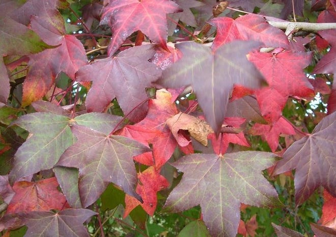 A native shade tree, sweet gum (Liquidambar styraciflua), displays beautiful long-lasting colors ranging from yellow, orange, red, and purple.