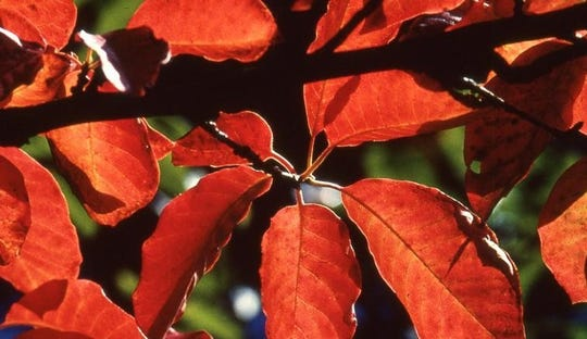 Blackgum (Nyssa sylvatica) is one of the most consistent native trees for fall color, displaying wide-ranging hues of orange, yellow, red, and purple.