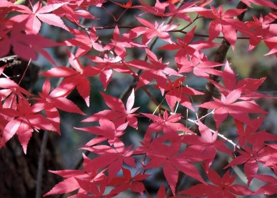 Japanese maple (Acer palmatum) is not native to our area, but these beautiful trees display superior fall color.