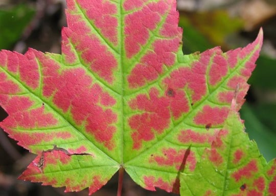 Red maple (Acer rubrum) trees are native to our area and turn vibrantly red to deep scarlet in the fall.