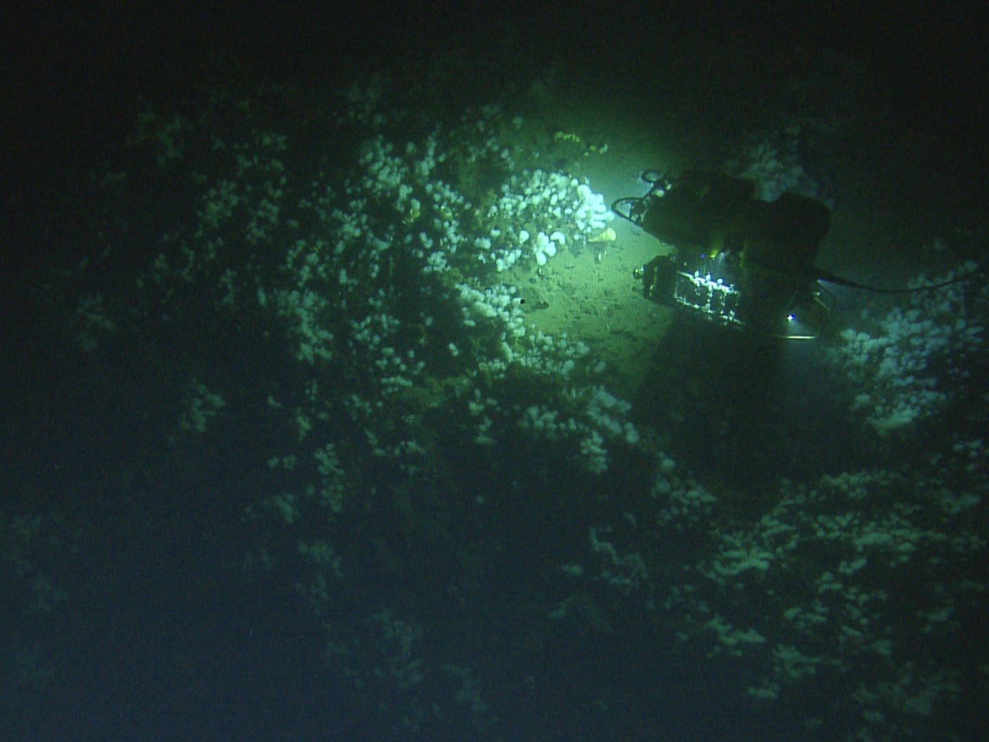 The remotely-operated vehicle Hercules, about the size of a large SUV, is dwarfed by one small section of the massive sponge garden discovered during the final dive.