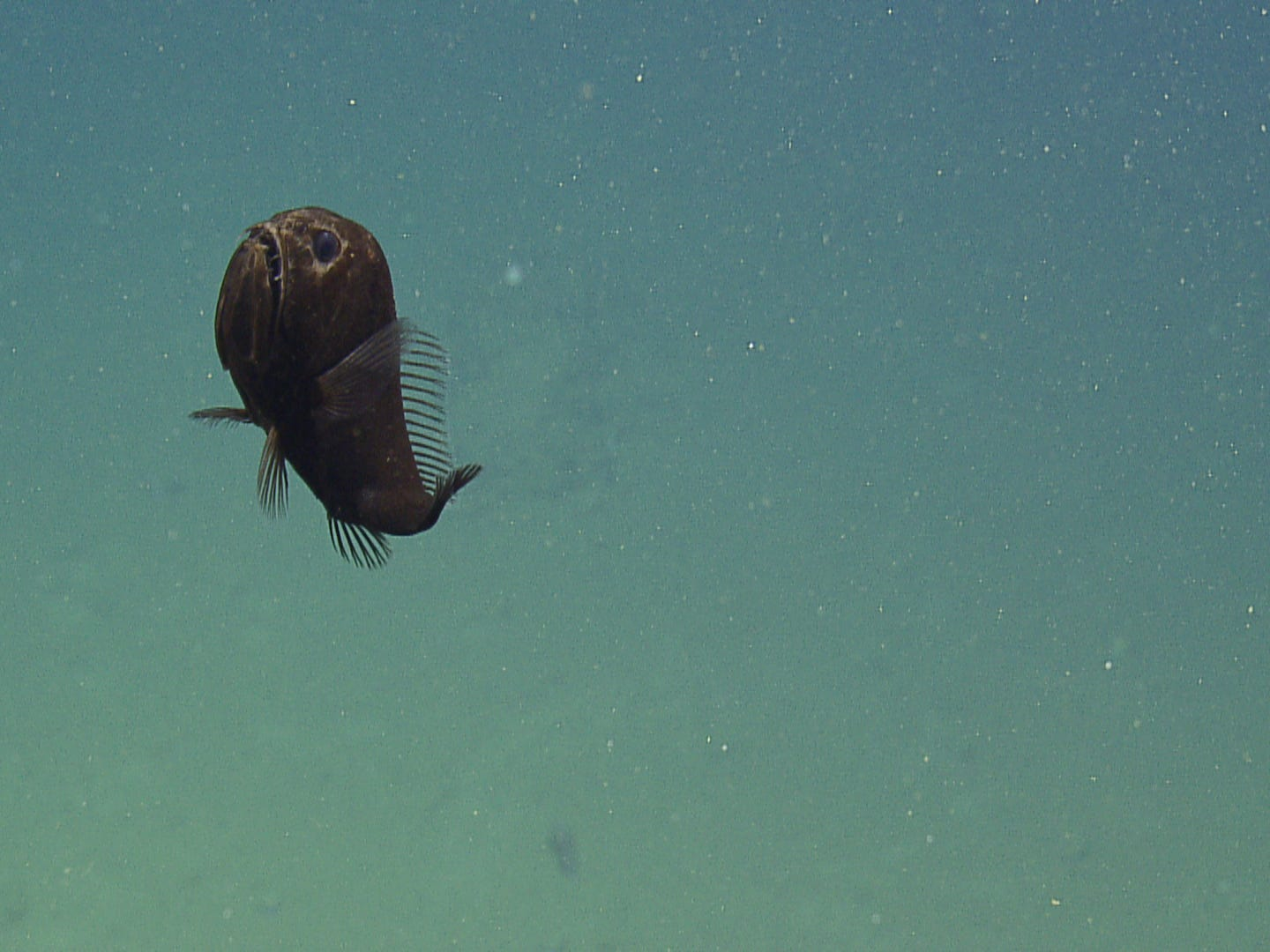 Discovered on the final dive of the expedition, this fangfish was the perfect opener to the Halloween edition of Nautilus Live.