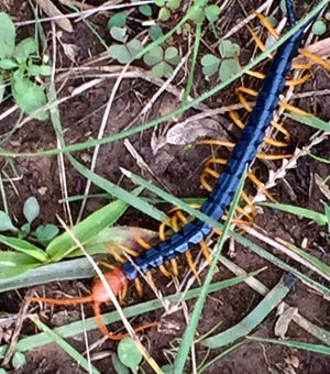 A Texas Redheaded Centipede  is spotted at Lake Arrowhead State Park .