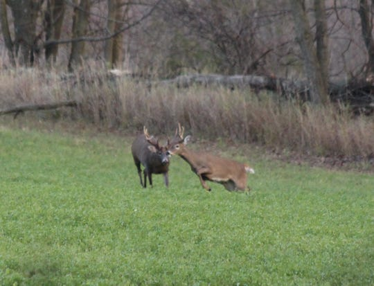 A large buck is seen pushing a doe in a hayfield in northeast Wisconsin last fall.  The large white-tailed buck survived last year's gun season and still roams the woods in northeast Wisconsin.