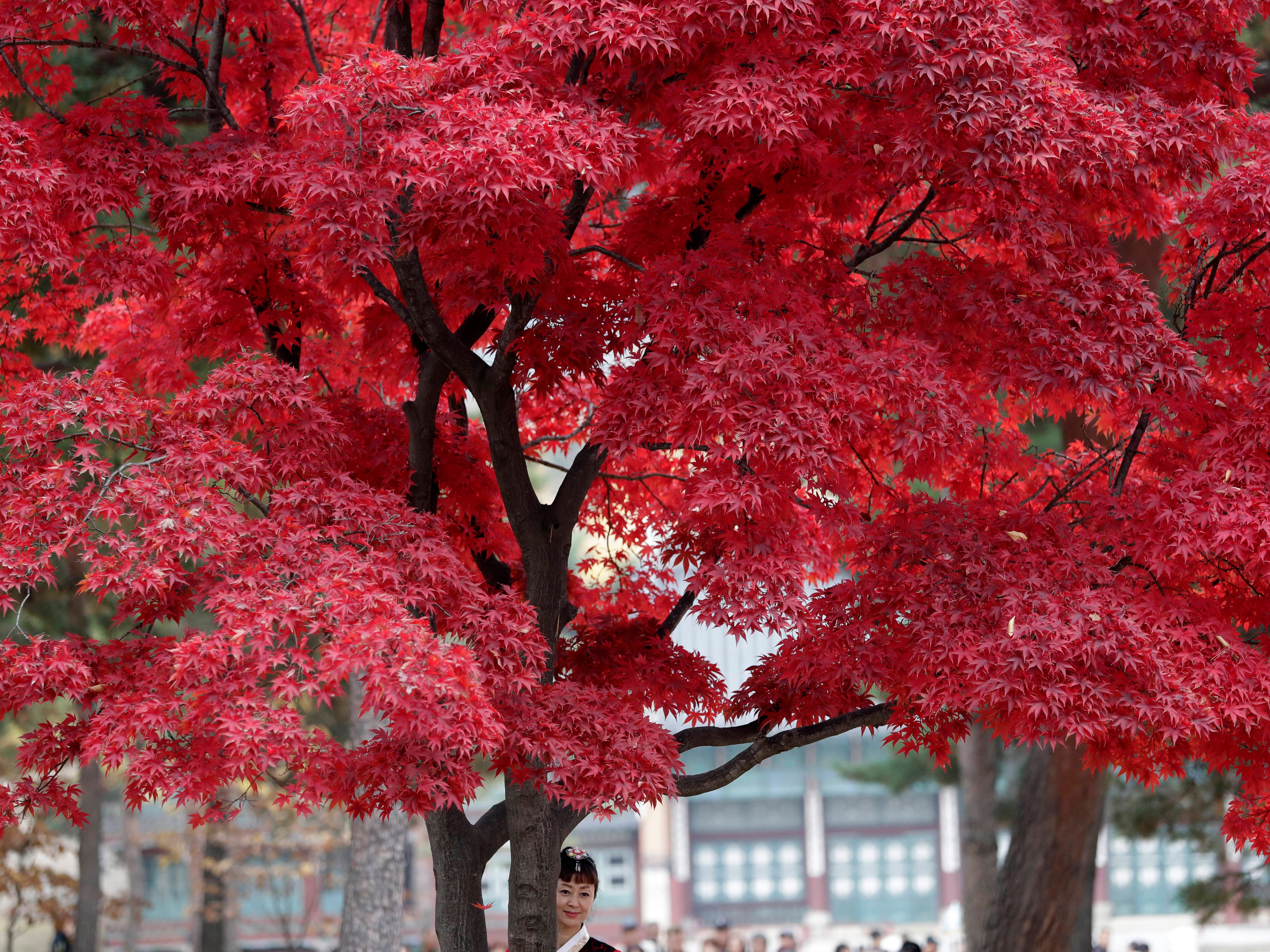 A woman stands for souvenir photo under leaves in autumn color at the Gyeongbok Palace, the main royal palace during the Joseon Dynasty, and one of South Korea's well known landmarks in Seoul, South Korea, Wednesday, Nov. 7, 2018.