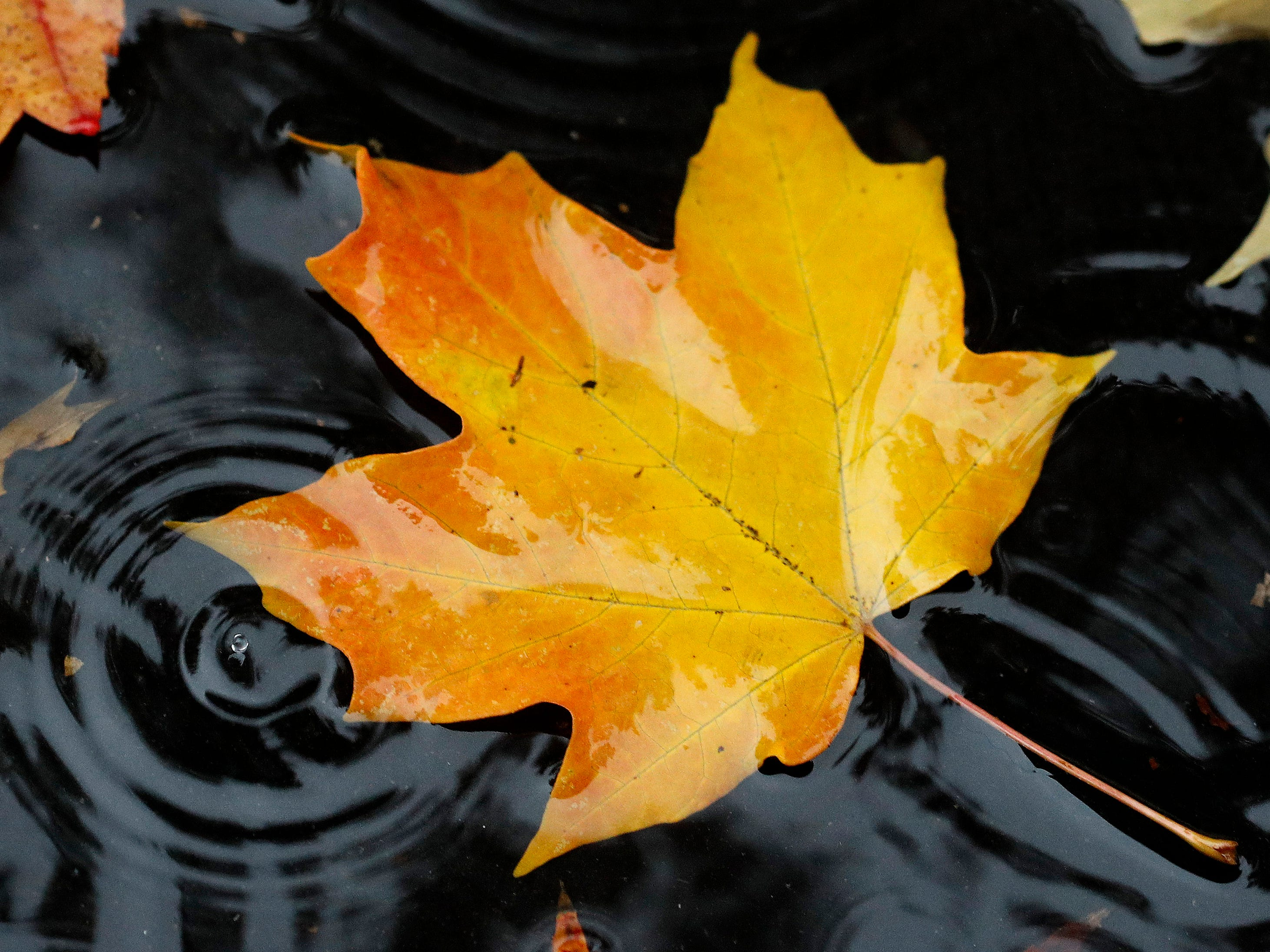 A rain drop falls next to a fallen leaf as it floats in a puddle in Overland Park, Kan., Monday, Nov. 5, 2018.