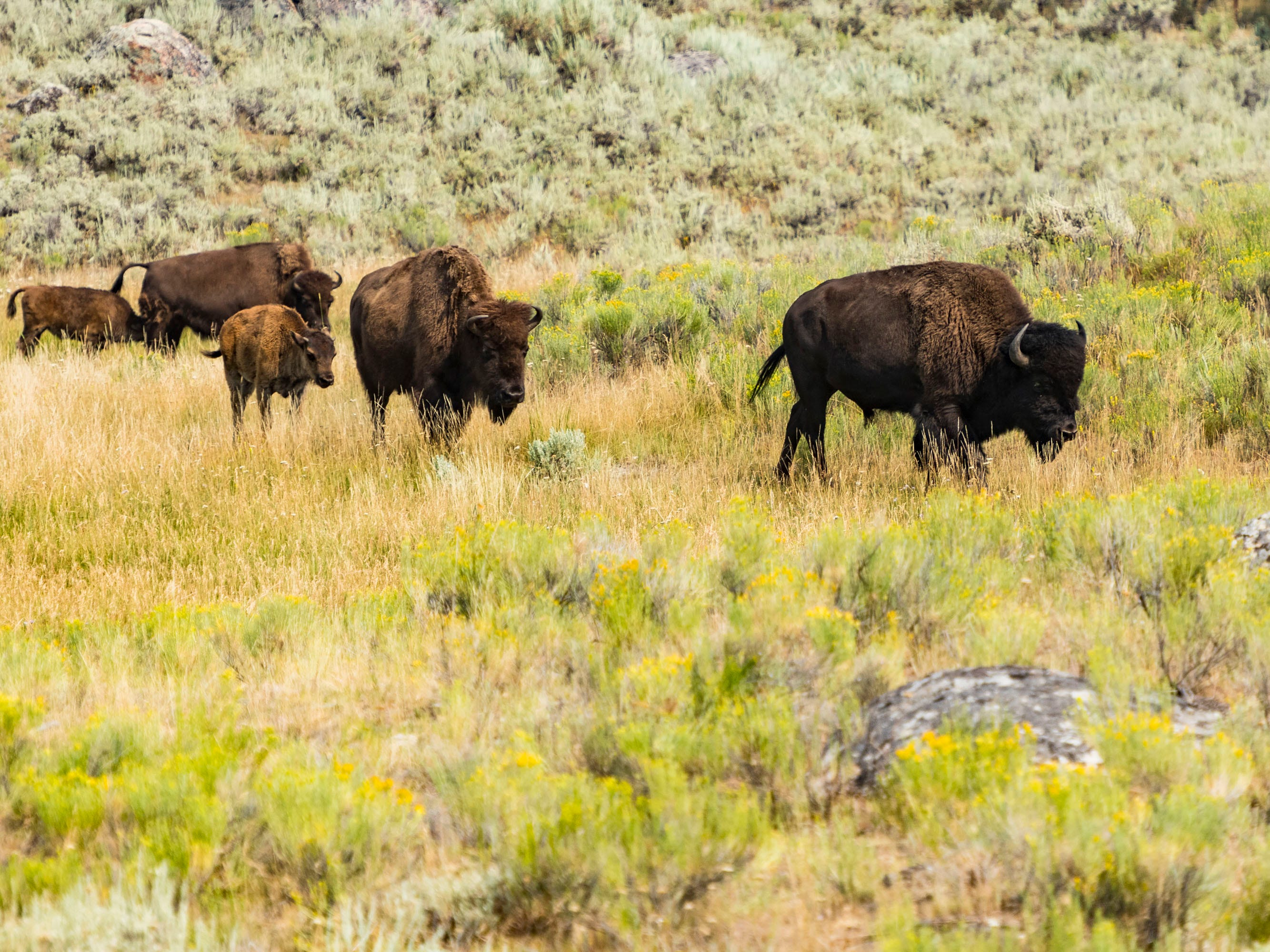 An early morning ride on the tour group's motorcoach through the Lamar Valley affords many sightings of free-roaming bison, elk, antelope and other animals.