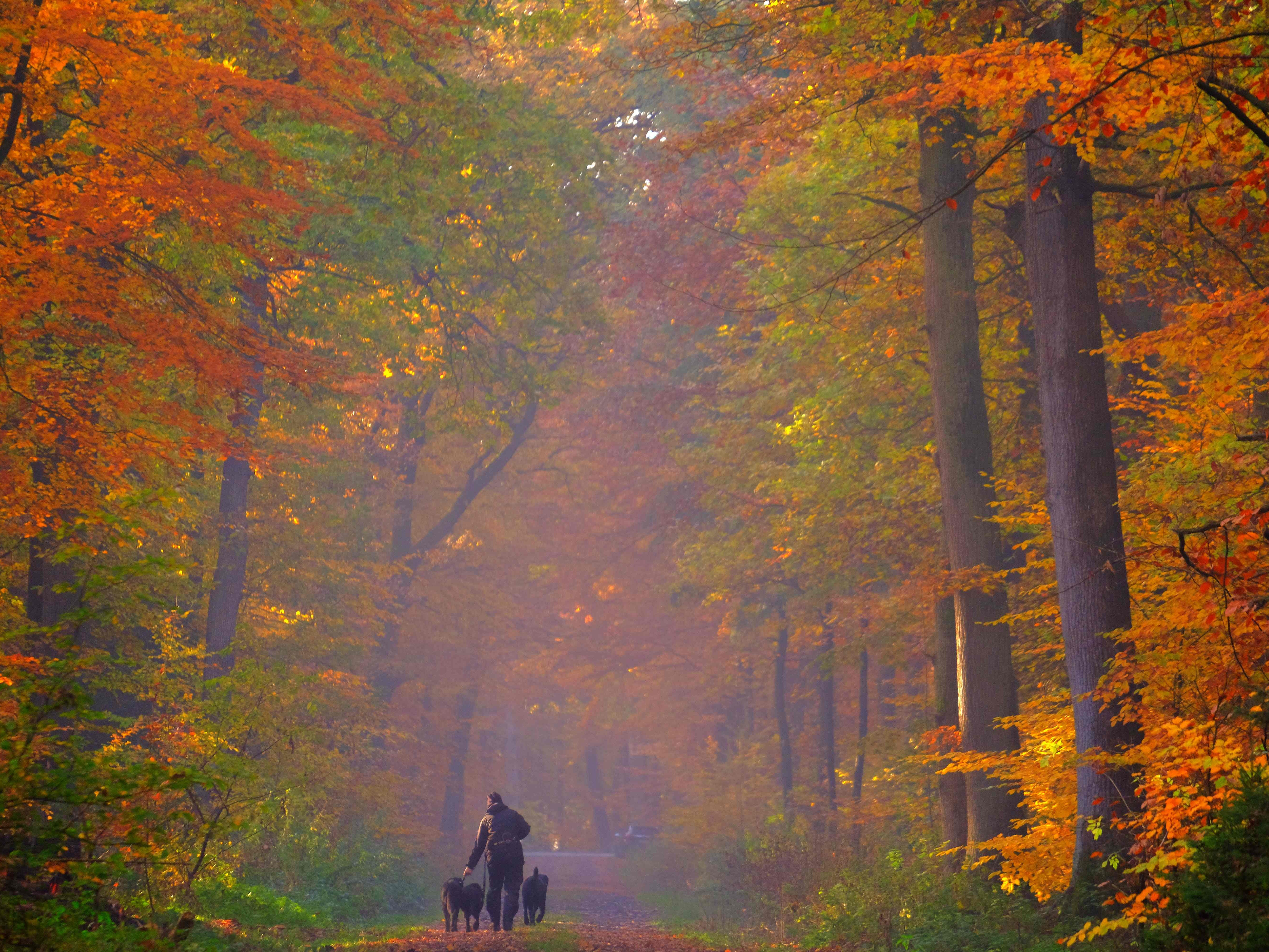 A pedestrian walks his dogs in an autumnally colored forest in Cuxhaven, Germany, on Nov. 7, 2018.