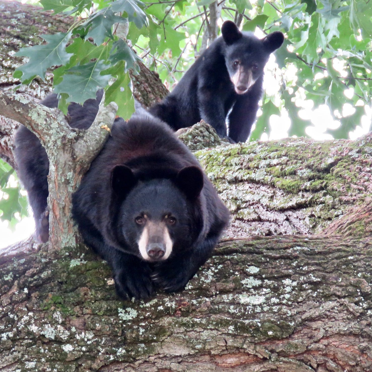 Is there an Asheville black bear boom? 6 tips for bear harmony this spring