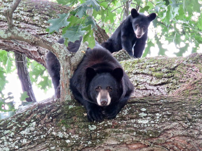 A mother black bear and her cub hang out in a tree in North Asheville earlier this summer. Wildlife biologists say human-bear encounters might increase this fall as bears search for food that is not in natural abundance this year.