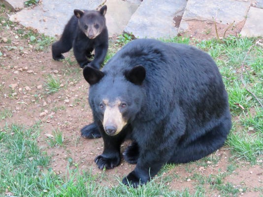 Black Bear And Cub Leslie Ann Keller