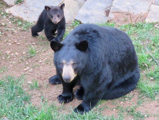 Black Bear And Cub Leslie Ann Keller
