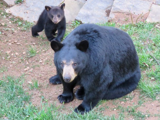 A black mother bear and her cub visited a home in North Asheville earlier this summer. Wildlife biologists warn people not to make loud noises around a mother bear because she might become defensive.