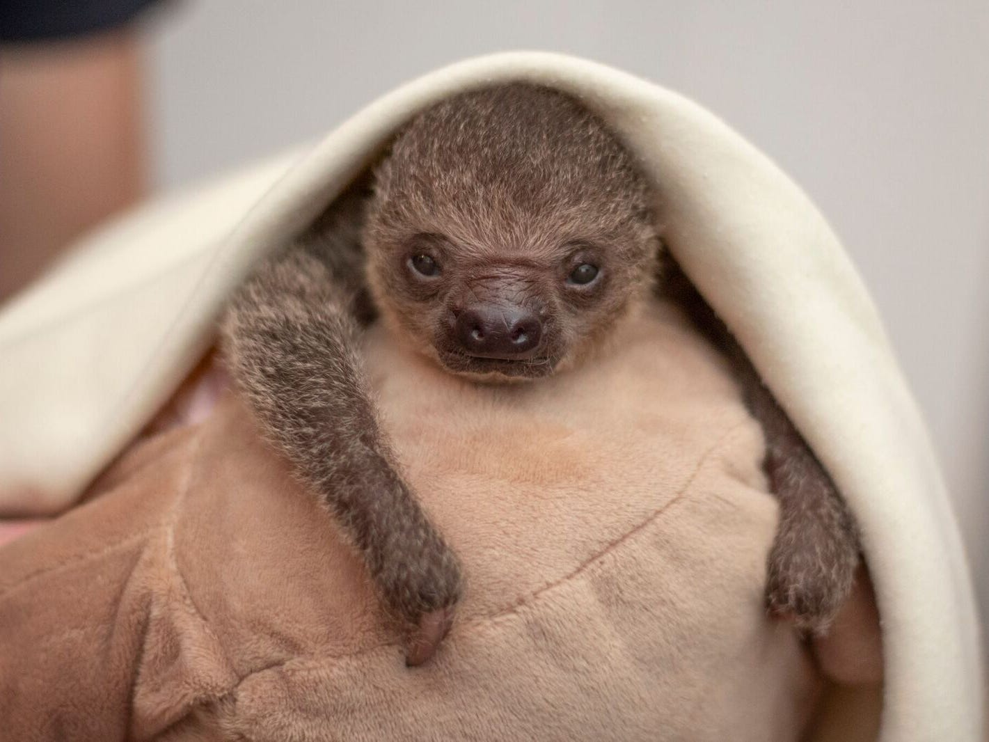 A baby sloth, born October 2018 at the Brevard Zoo, clings to a sloth blanket from the zoo's gift shop. It is being hand-raised by zoo workers.