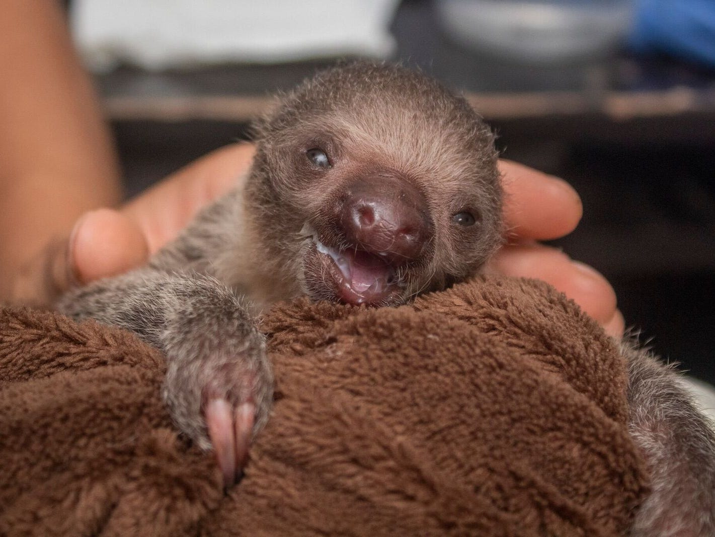 Aww! This baby sloth, born October 2018 at the Brevard Zoo, doesn't have a name yet, and the sex may require testing to determine.