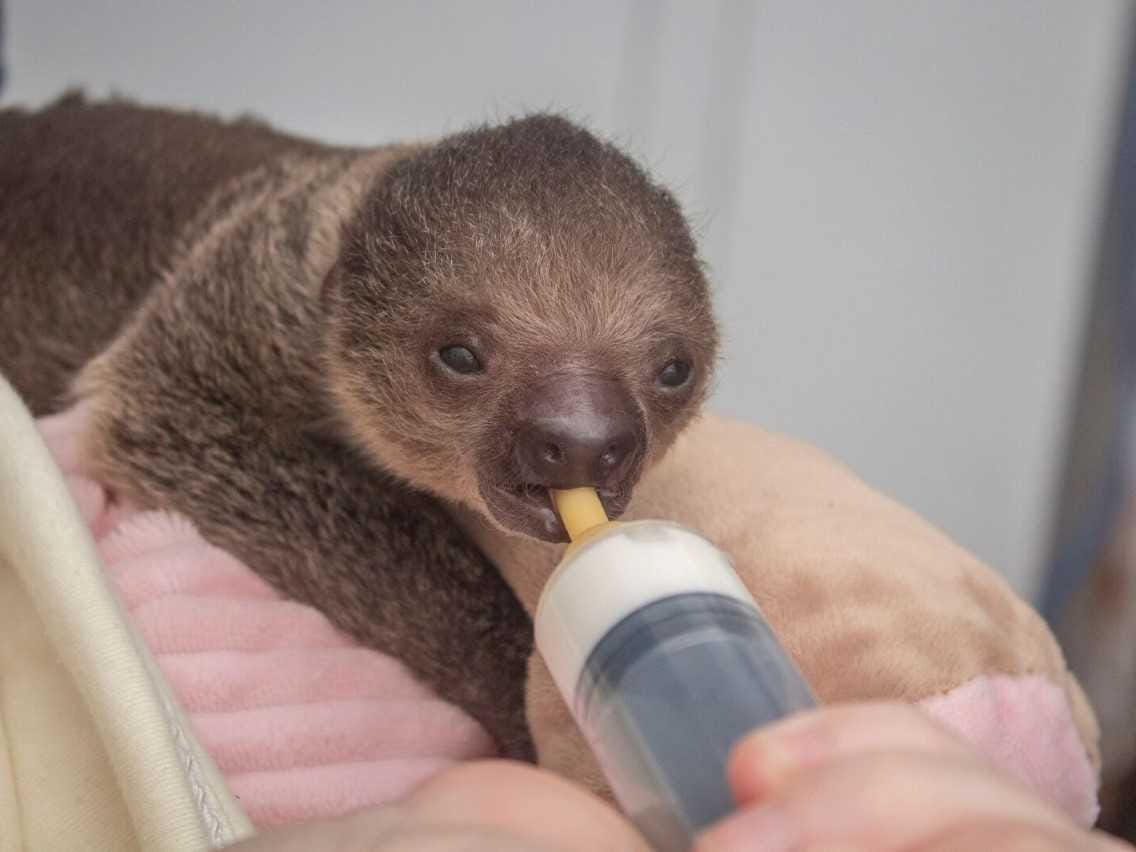 A baby sloth was born in October at the  Brevard Zoo. It is being hand-raised by zoo workers.