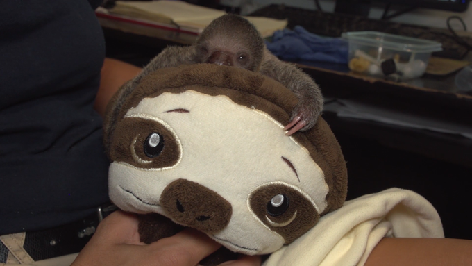 A baby sloth born at the Brevard Zoo likes to cuddle with a stuffed sloth blanket from the zoo's gift shop.