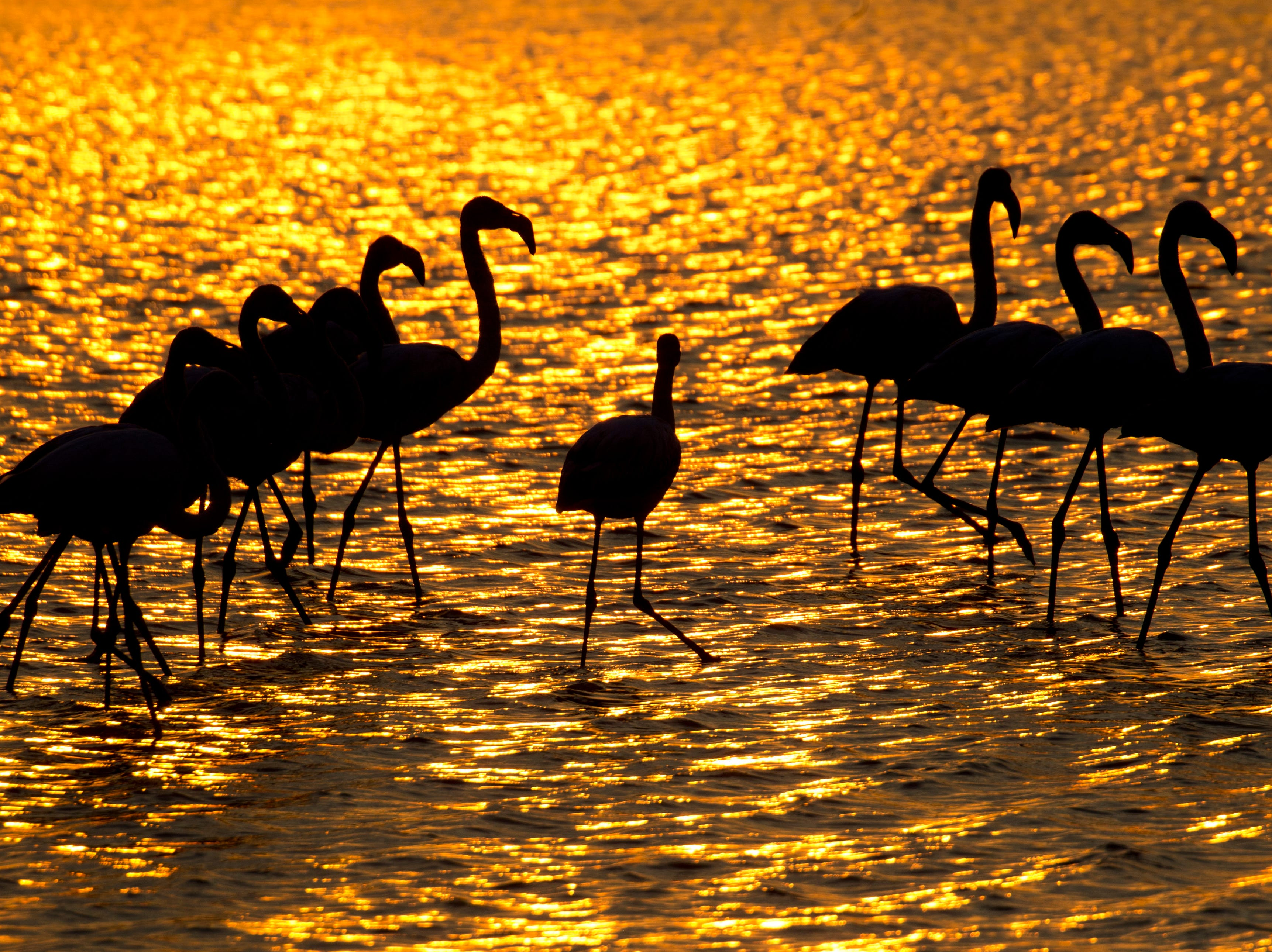 Flamingos search for food in a pond near Gan Shmuel, Israel, Thursday, Nov. 8, 2018. Israel is a popular stopping-point on the migration routes for more than 400 species of birds on the way to Africa and back to Europe during the year.