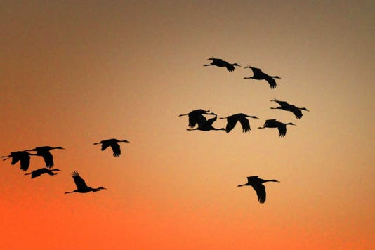 During fall migration at sunrise and sunset, skies at Jasper-Pulaski fill with sandhill cranes, bugling as they fly.