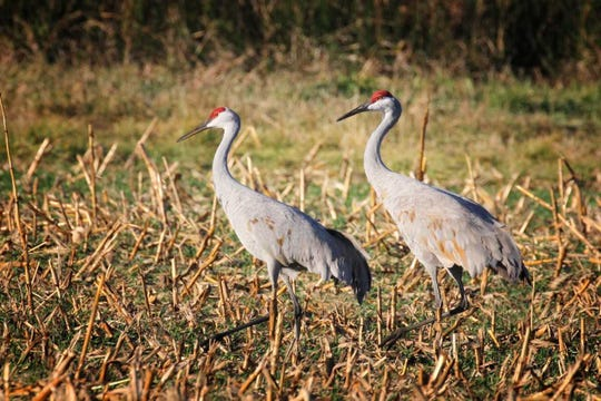 Sandhill cranes stand four feet tall and walk with stately grace as they forage amid corn stubble.