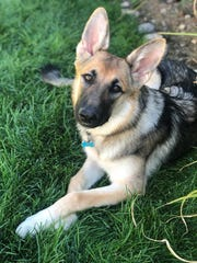 Max, a German shepherd like the one pictured here, has been in the custody of Southern Pines Animal Shelter for more than three years.