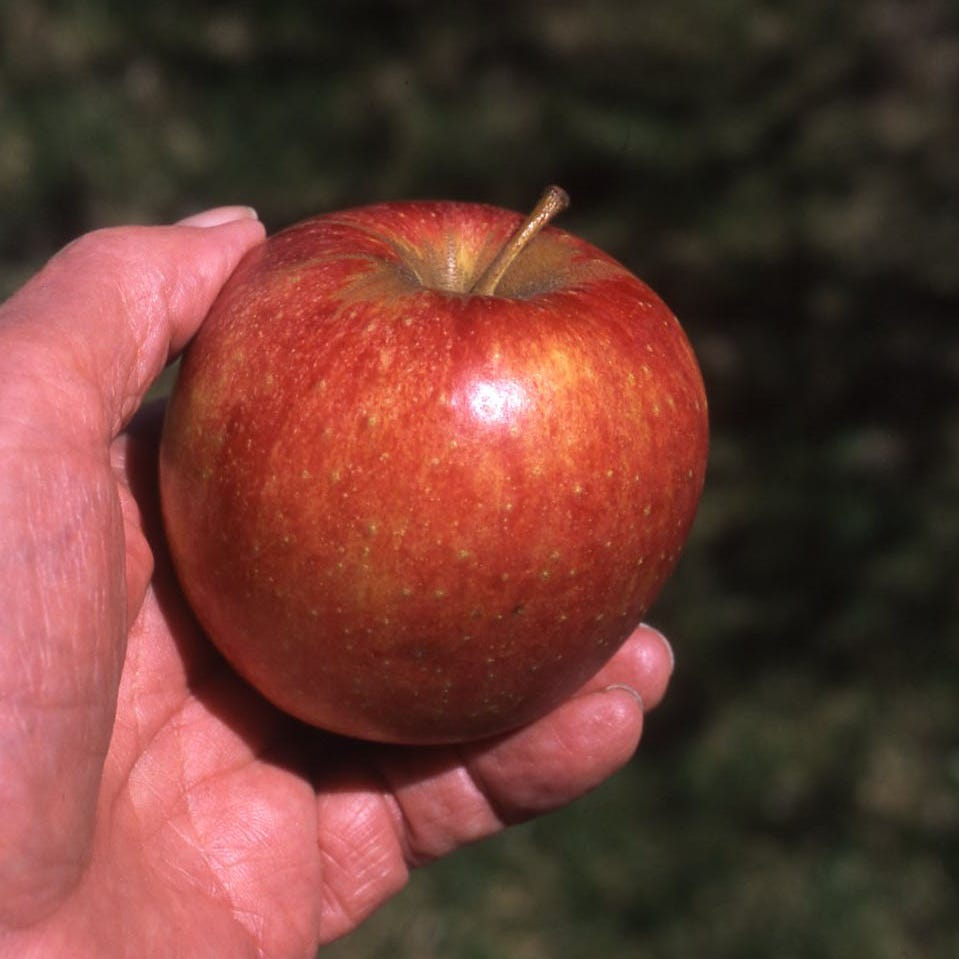 In The Garden | Want to grow your own apples?