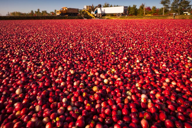 Red, ripe cranberries float in a Wisconsin bog as harvesting begins.