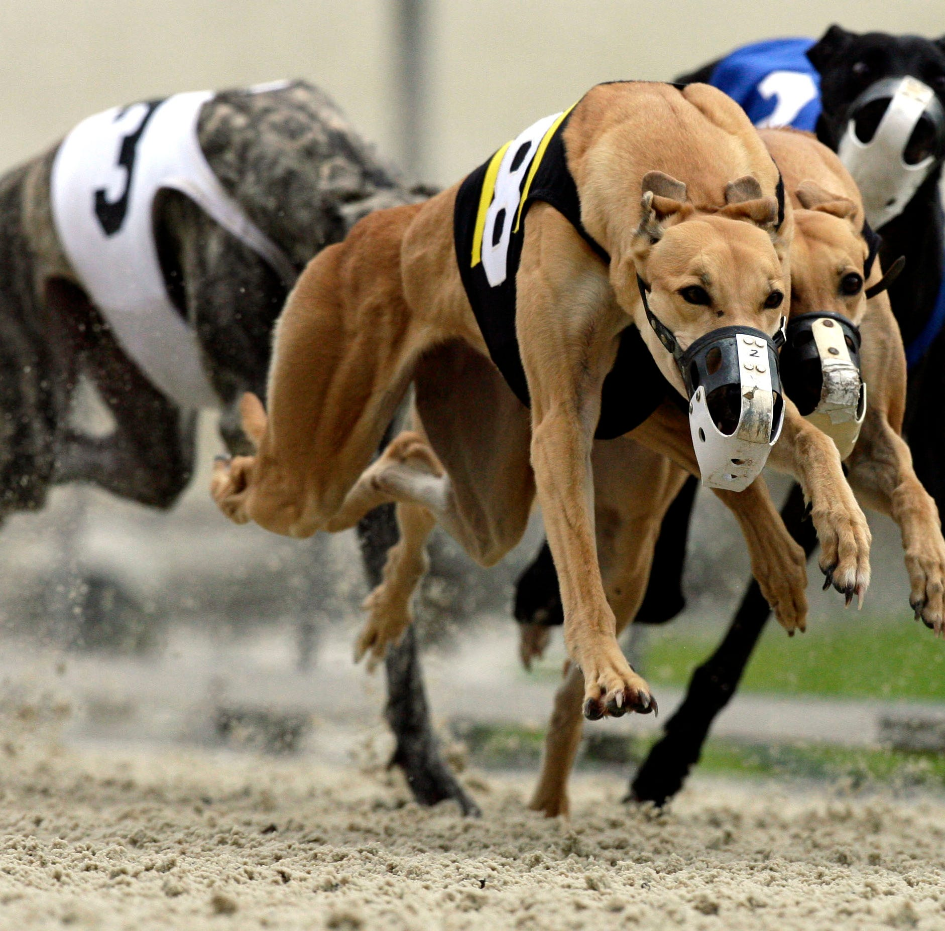 About 300 Pensacola greyhounds will be displaced by amendment to end Florida dog racing