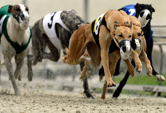 Greyhounds race around the Naples Fort Myers Dog Track in 2008. The 2020 greyhound racing season will be the last chance to watch live dog racing in Lee County.