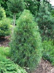 Scotch Pine.