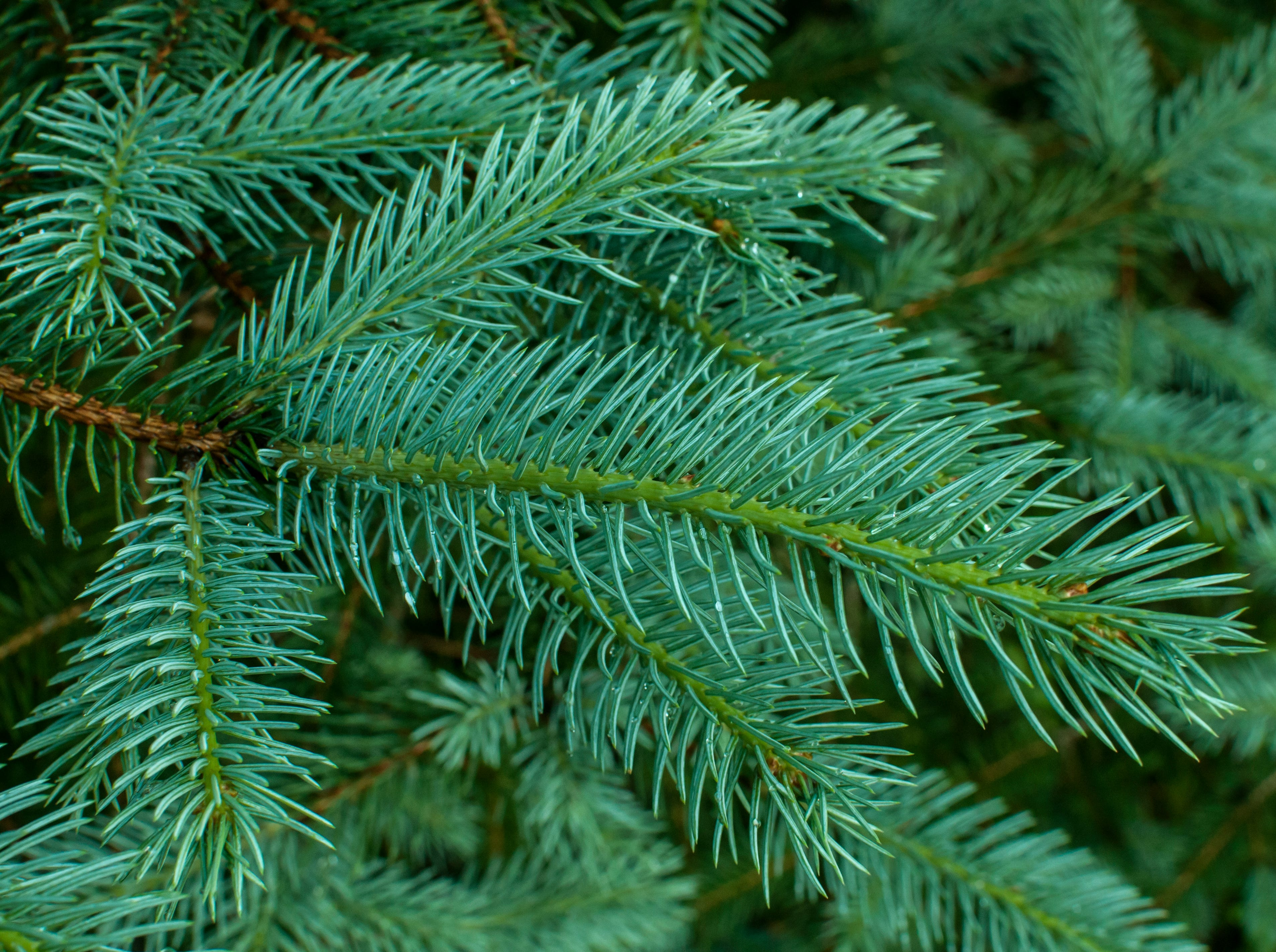 White spruce branch with fresh leaves closeup.