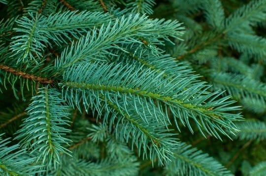 White Spruce branch.