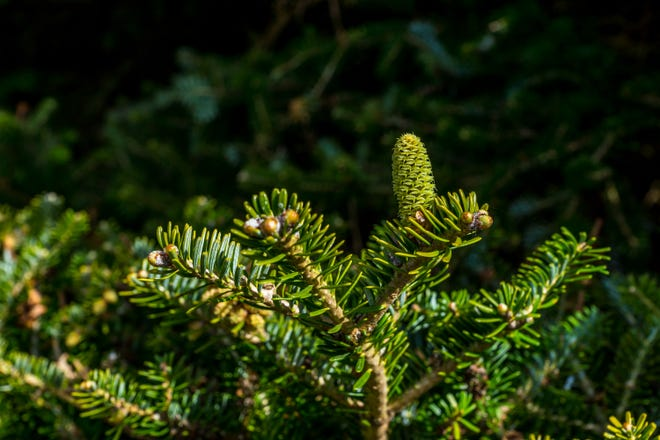 Fir tree cone and branch