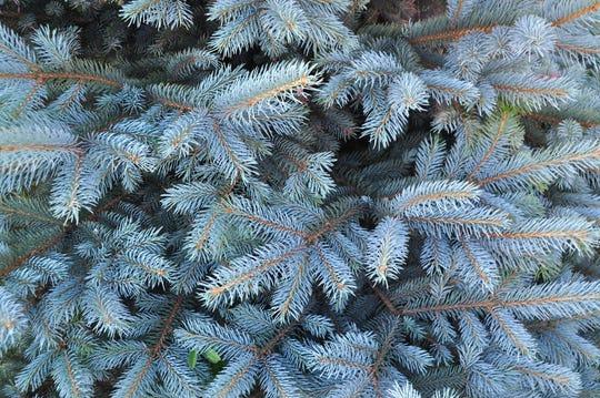 Blue Spruce.