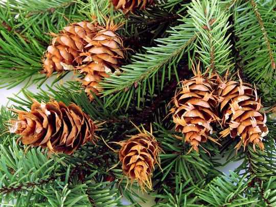 Concolor Fir with brown cones.