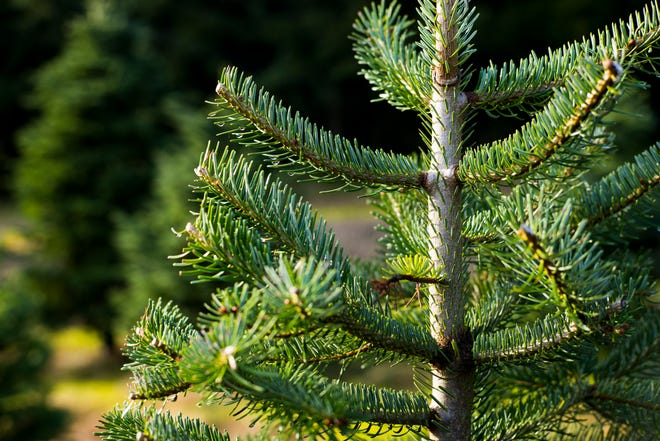 Close up of a Noble Fir tree.