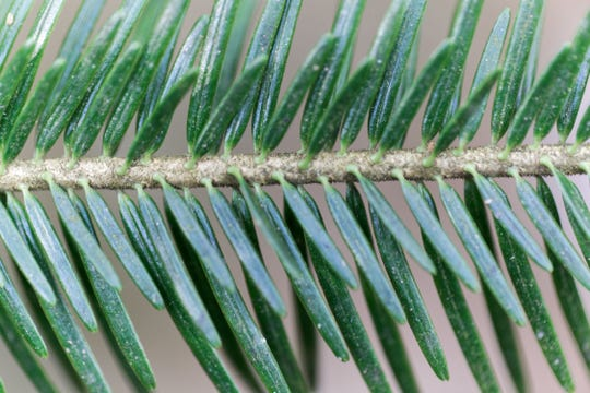 Nikko Fir needles.