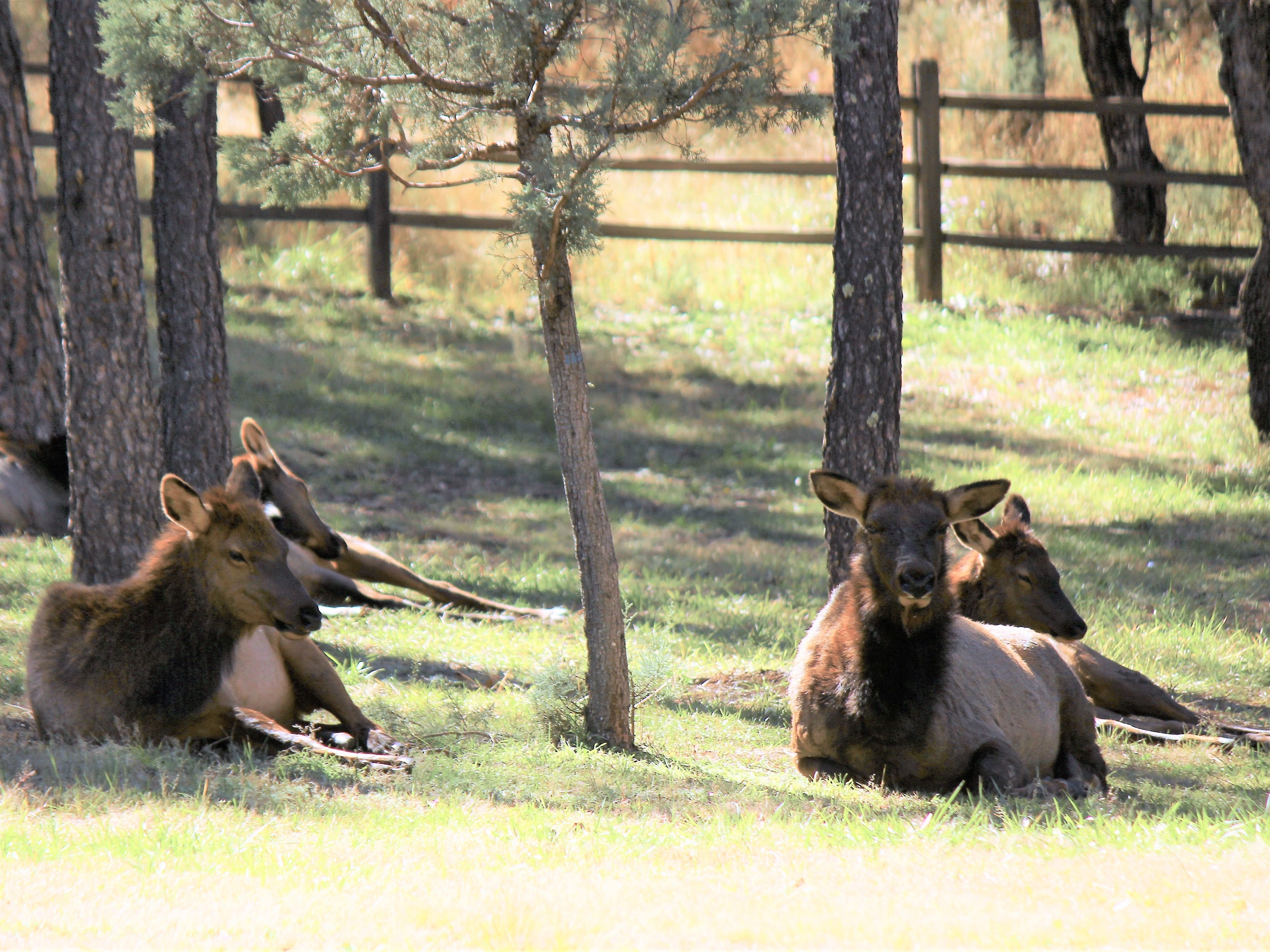 Cow elk (females) rest under the tall pines taking life just about as easy as it gets in this neck of the woods.